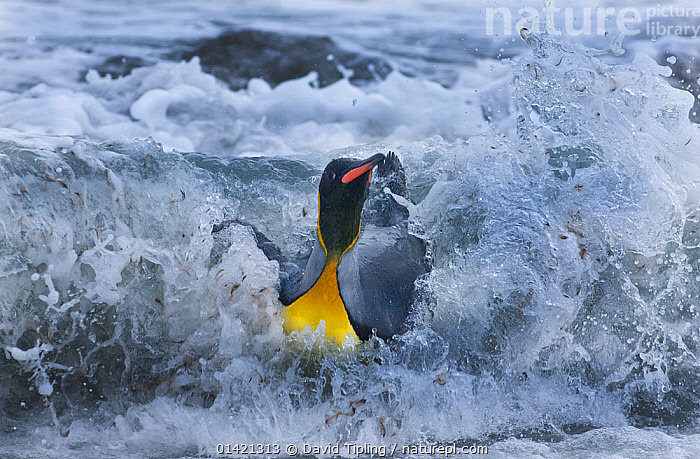 King Penguin (Aptenodytes patagonicus) coming ashore in surf Gold Harbour, South Georgia, November, ANTARCTICA,BIRDS,COASTAL WATERS,COASTS,COLD,FLIGHTLESS,ISLANDS,MARINE,PENGUINS,POLAR,SEABIRDS,SOUTH ATLANTIC ISLANDS,SUBANTARCTIC ISLANDS,SURFACE,VERTEBRATES,WAVES, David Tipling