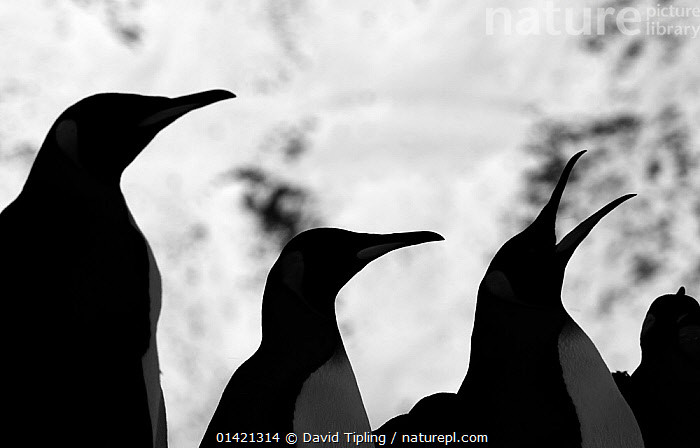 King Penguins (Aptenodytes patagonicus) silhouetted, one calling, Fortuna Bay, South Georgia, November, ANTARCTICA,ARTY SHOTS,BIRDS,CALLING,FLIGHTLESS,GROUPS,ISLANDS,PENGUINS,POLAR,SEABIRDS,SILHOUETTES,SOUTH ATLANTIC ISLANDS,SUBANTARCTIC ISLANDS,VERTEBRATES,VOCALISATION, David Tipling