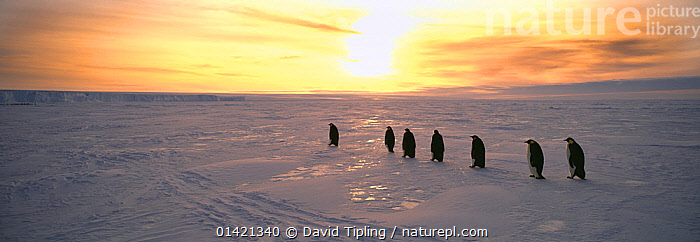 Emperor Penguins, (Aptenodytes forsteri), adults returning to colony across sea ice of the Weddell Sea, in the early morning, Antarctica, ANTARCTICA,BIRDS,FLIGHTLESS,GROUPS,MIGRATION,PANORAMIC,PENGUINS,POLAR,SEABIRDS,VERTEBRATES,WALKING, David Tipling