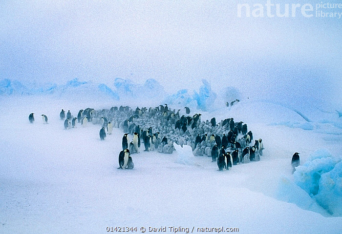 Emperor Penguins, (Aptenodytes forsteri), young huddling together to form a creche to keep warm, during storm, Dawson Lambton Glacier, Weddell Sea, Antarctica, ANTARCTICA,BIRDS,CHICKS,FLIGHTLESS,GROUPS,HUDDLED,PARENTAL,PENGUINS,POLAR,SEABIRDS,SNOW,THERMOREGULATION,VERTEBRATES,WEATHER,Catalogue5, David Tipling