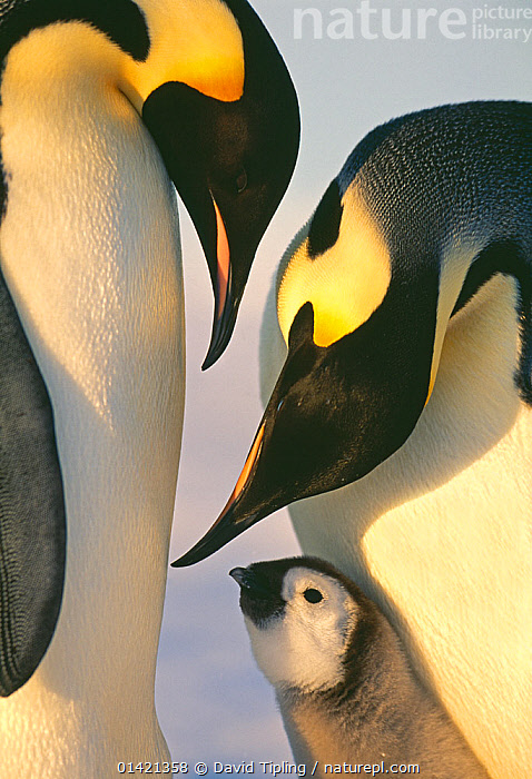 Emperor Penguins, (Aptenodytes forsteri), family, Weddell Sea, Antarctica, ANTARCTICA,BABIES,BIRDS,CHICKS,CUTE,FAMILIES,FLIGHTLESS,PARENTAL,PENGUINS,POLAR,PORTRAITS,SEABIRDS,VERTEBRATES,VERTICAL,YOUNG high1314,APTENODYTES FORSTERI,Animal,Vertebrate,Bird,Birds,Penguin,Emperor penguin,Animalia,Animal,Wildlife,Vertebrate,Aves,Bird,Birds,Sphenisciformes,Penguin,Seabird,Spheniscidae,Aptenodytes,Aptenodytes forsteri,Emperor penguin,Care,Caring,Kindness,Kind,Colour,Black,Yellow,Few,Three,Group,Nobody,Pattern,Patterned,Patterns,Affectionate,Affection,Antarctica,Antarctic,Polar,Close Up,Side View,Young Animal,Juvenile,Babies,Chick,Light,Lights,Sunlight,Outdoors,Open Air,Outside,Day,Family,Three Animals,Animal marking,Parenting,Bending,Bending forwards,Yellow Colour,Weddell Sea,Consideration,Marine bird,Marine birds,Pelagic bird,Pelagic birds,Flightless, David Tipling