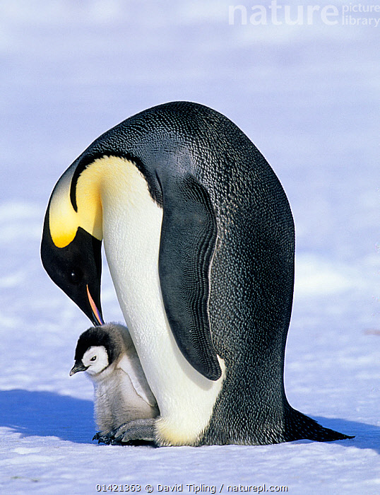Emperor Penguin (Aptenodytes forsteri) with chick, Cape Crozier, Ross Sea, Antarctica, ANTARCTICA,BABIES,BIRDS,CHICKS,FLIGHTLESS,PARENTAL,PENGUINS,POLAR,SEABIRDS,VERTEBRATES,VERTICAL,YOUNG, David Tipling