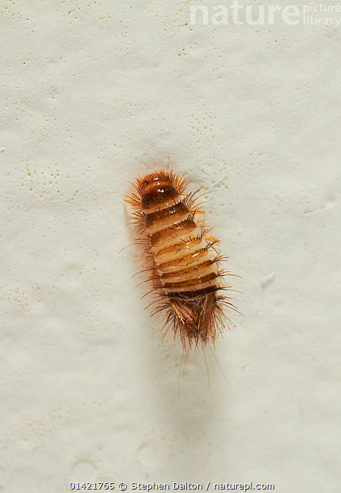 Nature Picture Library - Carpet beetle larva / Wooly bear