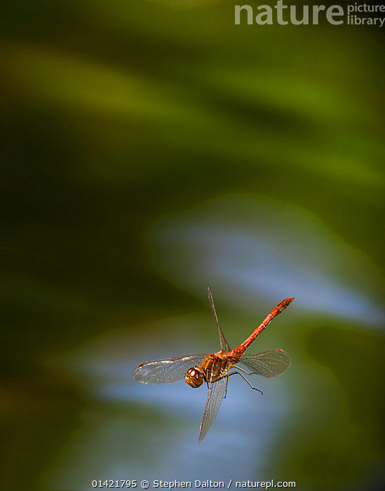 Common darter (Sympetrum striolatum) in flight over pond, controlled conditions, ARTHROPODS,COPYSPACE,DRAGONFLIES,FLYING,INSECTS,INVERTEBRATES,ODONATA,UK,VERTICAL,Europe,United Kingdom,Catalogue5, Stephen Dalton