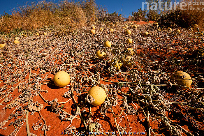 Paddy melon (Cucumis myriocarpus) growing in red sand dunes of the outback. It is a prostrate or climbing annual herb occurs in southern Africa and is a weed in Australia, South Australia, Australia  ,  arid,AUSTRALASIA,AUSTRALIA,CUCURBITACEAE,DESERTS,DICOTYLEDONS,dry,EDIBLE,FRUIT,LANDSCAPES,outback,PLANTS,SAND DUNES,VEGETABLES,catalogue6,CUCUMIS SP.,Spreading,Dispersal,Disperse,Disperses,Dispersing,Scatter,Scattering,Scatters,Spread,Spreads,Bizarre,Colour,Yellow,Group,Large Group,Many,No One,Nobody,Dry,Dried,Arid,Aridity,Parched,Scorched,Australasia,Australia,Plant,Vine,Climbing Plant,Climbing Plants,Vines,Sand Dune,Dune,Dunes,Sandbank,Outdoors,Open Air,Outside,Day,Large Group of Objects,Red Sand,Outback,,Dispersal,  ,  Jurgen Freund,Jurgen Freund