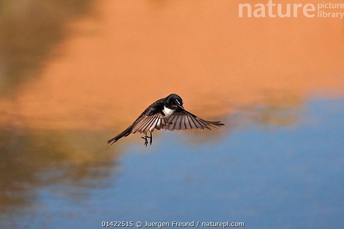 Willie Wagtail (Rhipidura leucophrys) in flight over water, Mungerannie Waterhole, South Australia, Australia  ,  AUSTRALASIA,AUSTRALIA,BIRDS,FANTAILS,FLYING,FRESHWATER,RHIPIDURIDAE,SONGBIRDS,VERTEBRATES,WATER,WATERHOLE,WILLIE WAGTAIL,WILLY WAGTAIL  ,  Jurgen Freund