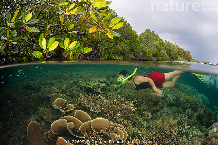 Coral reef split level with mangroves with snorkeller, Raja Ampat, West Papua, Indonesia, February 2012 Model released., catalogue6,INDONESIA,Leisure,Snorkeling,Snorkelling,Snorkler,Snorklers,Snorkling,People,Female,Woman,Only Women,One Woman Only,One Woman,Curiosity,Asia,South East Asia,Indonesia,Oceania,Melanesia,New Guinea,Side View,Clothing,Sports Clothing,Swimwear,Swimming Costume,Bathing Suit,Bathing Suits,Swimming Costumes,Swimsuit,Swimsuits,Sea Floor,Seabed,Reef,Reefs,Coral Reef,Coral Reefs,Outdoors,Open Air,Outside,Day,Marine,Split level,Saltwater,West Irian Jaya,Irian Jaya,Biodiversity hotspots,Biodiversity hotspot,View to land,Discovery,Snorkel Mask, Jurgen Freund