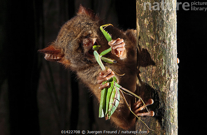 Spectral Tarsier (Tarsius tarsier) feeding on preying mantis in strangler fig tree, Tangkoko National Park, North Sulawesi, Indonesia  ,  ARTHROPODS,ASIA,ENDANGERED,FEEDING,INDONESIA,INSECTIVOROUS,INSECTS,INVERTEBRATES,MAMMALS,MANTISES,NIGHT,NOCTURNAL,NP,PREDATION,PRIMATES,RESERVE,SOUTH EAST ASIA,TARSIERS,TARSIIDAE,TARSIUS SPECTRUM,VERTEBRATES,Vulnerable,catalogue6,TARSIUS TARSIER,Plant,Vascular plant,Flowering plant,Rosid,Fig,Animal,Arthropod,Insect,Neoptera,Mantid,Vertebrate,Mammal,Tarsier,Eastern Tarsier,Vicious,Plantae,Plant,Tracheophyta,Vascular plant,Magnoliopsida,Flowering plant,Angiosperm,Seed plant,Spermatophyte,Spermatophytina,Angiospermae,Rosales,Rosid,Dicot,Dicotyledon,Rosanae,Moraceae,Ficus,Fig,Fig tree,Animalia,Animal,Wildlife,Hexapoda,Arthropod,Invertebrate,Hexapod,Arthropoda,Insecta,Insect,Dictyoptera,Neoptera,Pterygota,Mantidae,Mantid,Praying mantis,Mantodea,Vertebrate,Chordate,Mammalia,Mammal,Primate,Primates,Tarsiidae,Prosimians,Tarsius,Tarsier,Tarsius tarsier,Eastern Tarsier,Spectral Tarsier,Sulawesi Tarsier,Two,No One,Nobody,Asia,South East Asia,Indonesia,Outdoors,Open Air,Outside,Night,Feeding,Biodiversity hotspots,Biodiversity hotspot,Sulawesi,Wallacea,Food chain,Two animals,Vicious,Tangkoko National Park,Tearing Apart,Endangered species,threatened,Vulnerable,Plants,National Park,Behaviour  ,  Jurgen Freund,Jurgen Freund