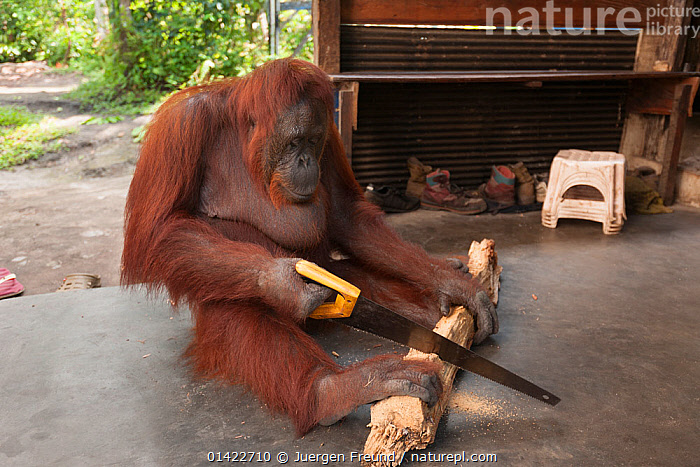 Bornean Orangutan (Pongo pygmaeus wurmbii) - 'Siswi' sawing a piece of firewood, Camp Leakey, Tanjung Puting National Park, Borneo, Central Kalimantan, Indonesia, catalogue6,PONGO PYGMAEUS WURMBII,Animal,Vertebrate,Mammal,Ape,Orangutan,Bornean Orangutan,Animalia,Animal,Wildlife,Vertebrate,Chordate,Mammalia,Mammal,Primate,Primates,Hominidae,Ape,Greater apes,Hominoidea,Pongo,Orangutan,Orang utan,Ponginae,Pongo pygmaeus,Bornean Orangutan,Cutting,Sawing,Sitting,Seated,Sit,Sits,Sitting Down,Sitting on Floor,No One,Nobody,Asia,South East Asia,Full Length,Full Lengths,Whole,Close Up,Side View,Plant,Log,Logs,Equipment,Work Tool,Tool,Tools,Work Tools,Saw,Saws,Building,Entrance,Entrances,Doorway,Doorways,Outdoors,Open Air,Outside,Day,Domestic animal,Borneo island,Borneo,Domestic animals,Domesticated,Pongo pygmaeus wurmbii,Tanjung Puting National Park,Central Kalimantan,Domestication,Trained,Camp Leakey,Endangered species,threatened,Endangered,Mammals,,Great apes,, Jurgen Freund