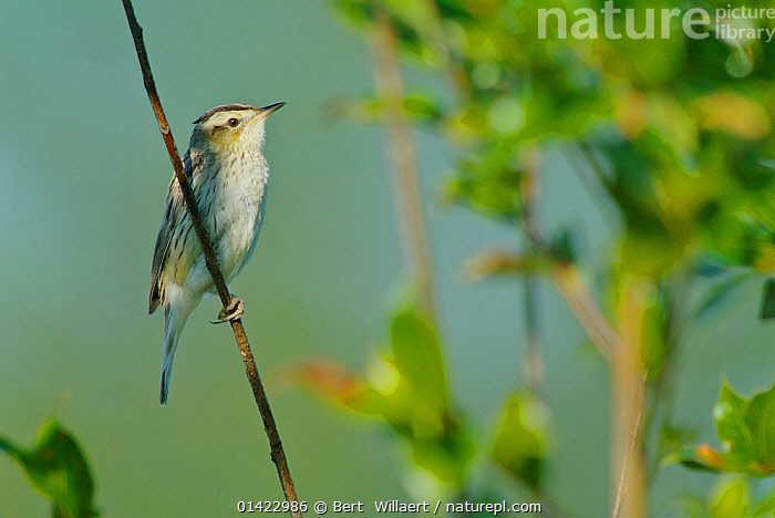 Aquatic Warbler (Acrocephalus paludicola). Zvanets fen mire, Belarus, Europe. Vulnerable Species.  ,  belarus,BIRDS,CIS,ENDANGERED,EUROPE,European,songbirds,Sylviidae,VERTEBRATES,WARBLERS high1314,ACROCEPHALUS PALUDICOLA,Animal,Vertebrate,Bird,Birds,Songbird,Acrocephalid warbler,Marsh warbler,Aquatic warbler,Animalia,Animal,Wildlife,Vertebrate,Aves,Bird,Birds,Passeriformes,Songbird,Passerine,Acrocephalidae,Acrocephalid warbler,Warbler,Acrocephalus,Marsh warbler,Reed warbler,Acrocephalus paludicola,Aquatic warbler,Glance,Glances,Glancing,Look Away,Looks Away,Waiting,Alertness,Alert,Anticipation,Cute,Adorable,Patience,Nobody,Europe,Eastern Europe,East Europe,Belarus,White Russia,Profile,Close Up,Side View,Plant,Leaf,Foliage,Twig,Sprig,Sprigs,Twigs,Outdoors,Open Air,Outside,Day,Nature,Natural,Natural World,Endangered Species,Threatened,Vulnerable species,Zvanets,Endangered species,threatened,Vulnerable  ,  Bert  Willaert