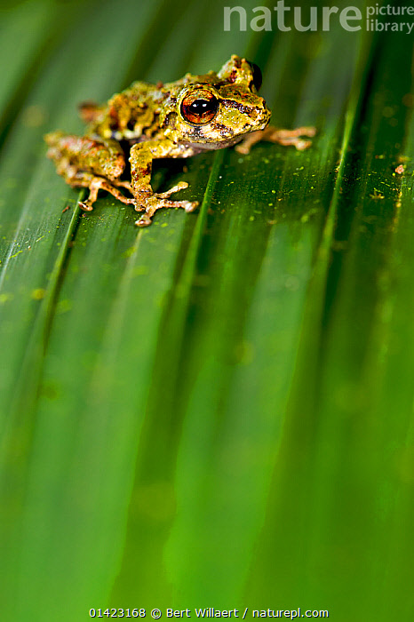 Rio Jatuntianhua Robber Frog (Pristimantis eriphus) male on a leaf. Ecuador, Vulnerable species., AMPHIBIANS,ANURA,FROGS,PORTRAITS,SOUTH AMERICA,VERTEBRATES,VERTICAL,VULNERABLE,Diptera,Catalogue5, Bert Willaert