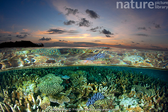 Reef under the surface of shallow waters, at sunset, covered with hard corals, Brush Coral (Acropora hyacinthus) Robust Acropora (Acropora robusta) and other Acropora, Maldives, Indian Ocean  ,  ACROPORA,Acropora hyacinthus,Acropora robusta,ANTHOZOANS,ASIA,Brush Coral,catalogue5,CNIDARIANS,complexity,Coral,CORAL REEFS,CORALS,GROWTH,HARD CORAL ,HARD CORALS,Indian Ocean,INDIAN OCEAN,INVERTEBRATES,LANDSCAPES,Maldives,MARINE,MIXED SPECIES,nature,NIGHT,Nobody,OCEAN,reef,Robust Acropora,SEALIFE,Shallow,SKY,split level,SPLIT LEVEL,SUNSET,SURFACE,TROPICAL,UNDERWATER,WATER,water level,Concepts,INDIAN OCEAN ISLANDS,Cnidaria  ,  Franco Banfi