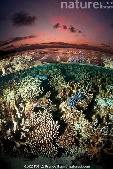 Reef under the surface of shallow waters, at sunset, covered with hard corals, Brush Coral (Acropora hyacinthus) Robust Acropora (Acropora robusta) and other Acropora, Maldives, Indian Ocean  ,  ACROPORA,Acropora hyacinthus,Acropora robusta,ANTHOZOANS,ASIA,Brush Coral,catalogue5,CNIDARIANS,Coral,CORAL REEFS,CORALS,Evening,fish eye lens,HARD CORAL ,HARD CORALS,Indian Ocean,INDIAN OCEAN,INVERTEBRATES,LANDSCAPES,Maldives,MARINE,MIXED SPECIES,NIGHT,Nobody,OCEAN,reef,Robust Acropora,Shallow,split level,SPLIT LEVEL,SUNSET,SURFACE,TROPICAL,UNDERWATER,VERTICAL,WATER,water level,INDIAN OCEAN ISLANDS,Cnidaria  ,  Franco Banfi