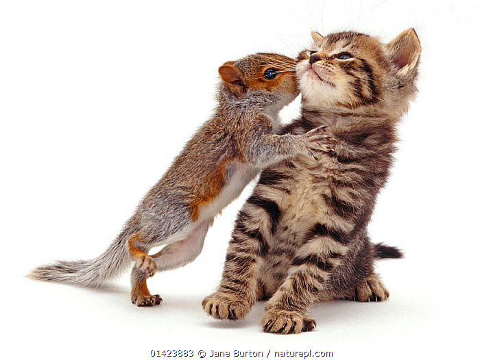 Baby Grey Squirrel (Sciurus carolinensis) 'kissing' a tabby kitten. NOT AVAILABLE FOR BOOK USE, BABIES,BEHAVIOUR,CARNIVORES,CATS,CUTE,felidae,FRIENDS,INTERACTION,kisses,KISSING,kittens,leaning back,MAMMALS,MIXED-SPECIES,PETS,rodents,Sciuridae,SQUIRRELS,VERTEBRATES,WHITE high1314,SCIURUS CAROLINENSIS,Animal,Vertebrate,Mammal,Carnivore,Cat,Rodent,Squirrel,Eastern Gray Squirrel,Felis catus,Animalia,Animal,Wildlife,Vertebrate,Mammalia,Mammal,Carnivora,Carnivore,Felidae,Cat,Rodentia,Rodent,Sciuridae,Sciurus,Squirrel,Sciurus carolinensis,Eastern Gray Squirrel,Gray Squirrel,Grey Squirrel,Whisper,Standing,On One Leg,Cute,Adorable,Friendship,Two,Nobody,Disgust,Averse,Aversion,Disgusted,Revulsion,Affectionate,Affection,Plain Background,White Background,Close Up,Young Animal,Juvenile,Babies,Baby Mammal,Kitten,Kittens,Indoors,Studio Shot,Studio Shots,Domestic animal,Pet,Mixed species,Domestic Cat,Cats,Felis catus,Unlikely friends,Unusual friends,Standing on hind legs,Two animals,Avoiding, Jane Burton