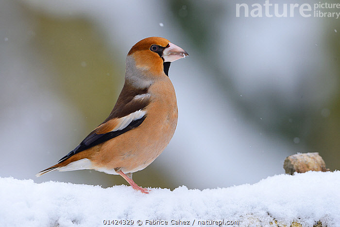 Hawfinch (Coccothraustes coccothraustes) profile in snow, Vosges, France, January  ,  BIRDS,COPYSPACE,EUROPE,FINCHES,FRANCE,FRINGILLIDAE,PORTRAITS,PROFILE,SNOW,SONGBIRDS,VERTEBRATES,WINTER  ,  Fabrice Cahez