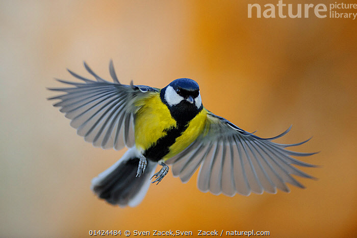 Great Tit (Parus major) in flight. Southern Estonia, December.  ,  BIRDS,COLOURFUL,Estonia,EUROPE,FLYING,northern europe,Paridae,PORTRAITS,songbirds,TITS,VERTEBRATES,YELLOW,catalogue6,PARUS MAJOR,Animal,Vertebrate,Birds,Songbird,Tit,Great tit,Animalia,Animal,Wildlife,Vertebrate,Chordate,Aves,Birds,Passeriformes,Songbird,Passerine,Paridae,Tit,Parus,Parus major,Great tit,Landing,Thinking,Concentrate,Concentrated,Concentrating,Concentration,On The Move,Colour,Yellow,Mid Air,No One,Nobody,Pattern,Patterned,Patterns,Europe,Eastern Europe,East Europe,Baltic Countries,Baltic States,Estonia,Front View,View From Front,Wing,Wings,Outdoors,Open Air,Outside,Day,Wings spread,Wingspan,Moving,Animal marking  ,  Sven Zacek,Sven  Zacek