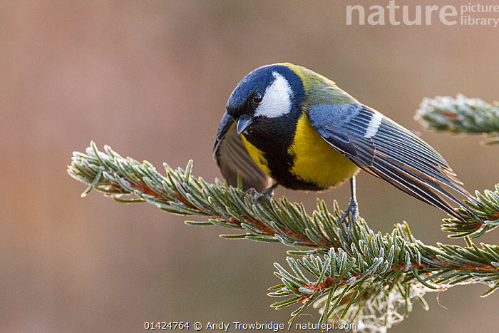 Great Tit (Parus major) perched on frost covered spruce branch with wings open in a show of aggression. Southern Norway, October.  ,  AGGRESSION,animal marking,BEHAVIOUR,BIRDS,BRANCHES,catalogue5,CLOSE UPS,copyspace,DISPLAY,EUROPE,FROST,Nobody,NORWAY,one animal,outdoors,Paridae,PORTRAITS,SCANDINAVIA,songbirds,spruce tree,STANDING,TERRITORIAL,Threats,TITS,VERTEBRATES,WILDLIFE,WINGS,wings spread,WINTER,Communication,Weather  ,  Andy Trowbridge