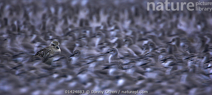 Knot (Calidris canutus) and grey plover (Pluvialis squatarola) roost at high tide with numerous birds packed tightly together, Snettisham, Norfolk, October. Bookplate from Danny Green's 'The Long Journey North'  ,  BIRDS,ENGLAND,EUROPE,GROUPS,LARGE GROUP,MANY,MASS,PANORAMIC,RED KNOT,SANDPIPERS,SCOLOPACIDAE,SELECTIVE FOCUS,UK,VERTEBRATES,WADERS,United Kingdom,Catalogue5  ,  Danny Green