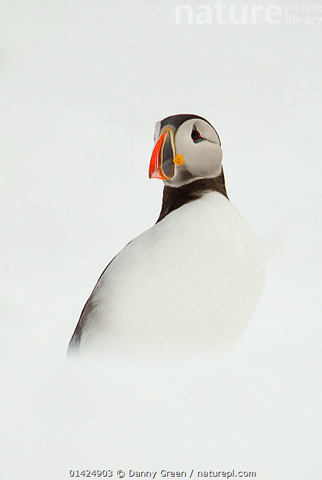Atlantic Puffin (Fratercula arctica) resting on a snow bank, Isle of Hornoya, Varanger, Norway, April. Bookplate from Danny Green's 'The Long Journey North', animal marking,atlantic puffin,AUKS,BIRDS,catalogue5,COLD,EUROPE,EXPRESSIONS,front view,Isle of Hornoya,looking away,lost,Nobody,NORWAY,one animal,outdoors,resting,sadness,SCANDINAVIA,SEABIRDS,SNOW,solitary,STANDING,varanger,VERTEBRATES,VERTICAL,white background,WILDLIFE, Danny Green