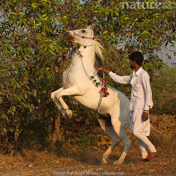 An equine trainer, in the traditional white Gujarati clothes, walks a Kathiawari horse mare on her hindlegs without strain, Porbandar, Gujarat, India, December 2012. No release available.  ,  EQUIDAE,FEMALES,HORSES,MAMMALS,MAN,PEOPLE,PERISSODACTYLA,REARING,TRADITIONAL,TRADITIONAL CLOTHING,TRAINING,VERTEBRATES,WHITE,Equines,Catalogue5  ,  Kristel Richard
