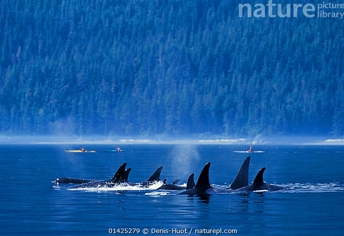 Killer whales (Orcinus orca) off the coast of British Columbia, North Pacific Ocean  ,  background people,BRITISH COLUMBIA,CANADA,catalogue5,CETACEANS,coastal,COASTS,Delphinidae,Discovery,DOLPHINS,FINS,FORESTS,GROUPS,kayaker,KAYAKING,MAMMALS,MARINE,medium group of animals,Nobody,North Pacific Ocean,NORTH AMERICA,outdoors,PACIFIC,Pcific Ocean,PEOPLE,pods,SURFACE,TREES,view to land,water surface,WILDLIFE,wildlife watching,WOODLANDS,SPORTS,WATERSPORTS,PLANTS  ,  Denis-Huot