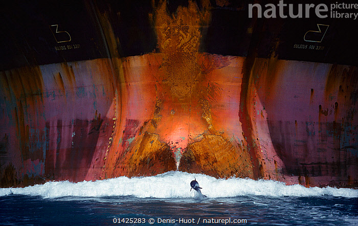 Bottlenose dolphin (Tursiops truncatus) playing in the waves of an oil tanker, Port Aransas, Texas, USA  ,  BEHAVIOUR,BOATS,bottlenose,BOWS,BREACHING,catalogue5,CETACEANS,Delphinidae,DOLPHINS,FRONT VIEWS,HULLS,JUMPING,LEAPING,MAMMALS,MARINE,MS,NIGHT,Nobody,NORTH AMERICA,oil industry,oil tanker,one animal,outdoors,PACIFIC OCEAN,playful,playing,PLAYS,Port Aransas,SCALE,sea,SURFACE,TANKERS,TEMPERATE,texas,Threats,USA,VERTEBRATES,WAVES,WILDLIFE,WORKING BOATS,BOAT-PARTS,WORKING-BOATS  ,  Denis-Huot