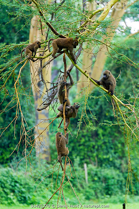Olive baboon (Papio hamadryas anubis) group in an acacia tree, Nakuru National Park, Kenya  ,  AFRICA,BABOONS,BRANCHES,catalogue5,Cercopithecidae,CLIMBING,EAST AFRICA,GROUPS,hanging,Kenya,MAMMALS,medium group of animals,MONKEYS,Nakuru National park,Nobody,NP,outdoors,playful,PLAYS,PRIMATES,RESERVE,TREES,VERTEBRATES,VERTICAL,WILDLIFE,National Park,PLANTS  ,  Denis-Huot