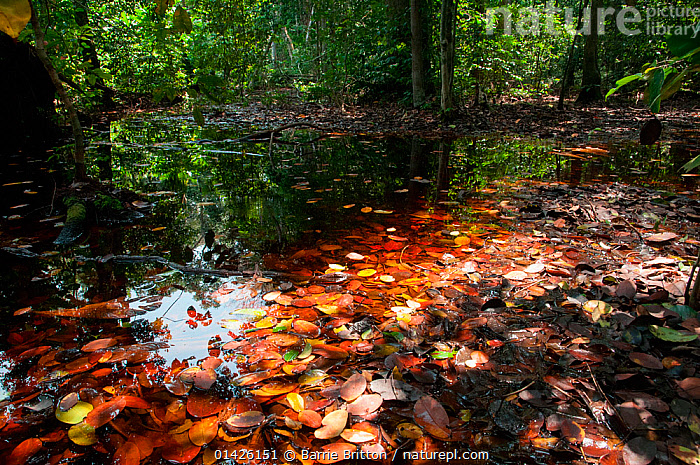 Nature Picture Library - Flooded forest, Loango National