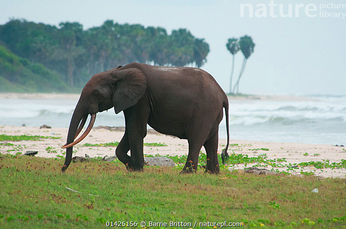 Nature Picture Library - Forest Elephant (Loxodonta cyclotis