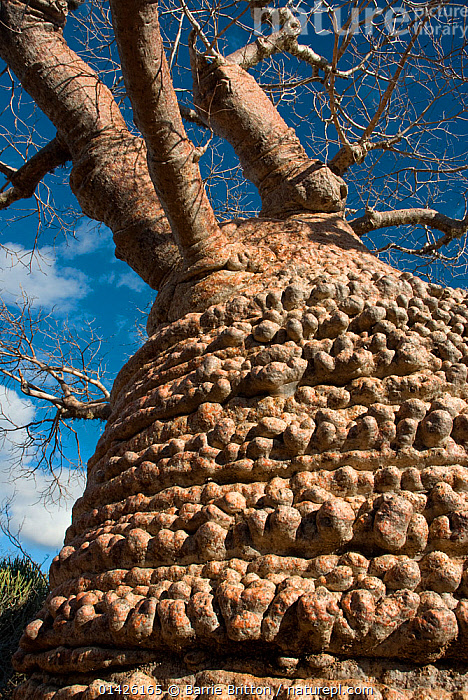 Baobab tree (Adansonia rubrostipa)  Tsimanampetsotsa National Park, Madagascar.  Photograph taken on location for BBC 'Wild Madagascar' Series, August 2009.  ,  catalogue6,ADANSONIA RUBROSTIPA,Plant,Vascular plant,Flowering plant,Rosid,Mallow,Baobab tree,Fony baobab tree,Plantae,Plant,Tracheophyta,Vascular plant,Magnoliopsida,Flowering plant,Angiosperm,Seed plant,Spermatophyte,Spermatophytina,Angiospermae,Malvales,Rosid,Dicot,Dicotyledon,Rosanae,Malvaceae,Mallow,Mauve,Adansonia,Baobab tree,Adansonia rubrostipa,Fony baobab tree,Bottle baobab tree,Age,No One,Nobody,Rough,Coarse,Knobbed,Uneven,Textured,Texture,Textures,Madagascar,Malagasy Republic,Republic of Madagascar,Close Up,Low Angle View,Tree Trunk,Tree,Deciduous,Baobab,Baobab Tree,Baobab Trees,Baobabs,Boabab,Boabab Tree,Boabab Trees,Boababs,Outdoors,Open Air,Outside,Day,Biodiversity hotspots,Biodiversity hotspot,Ageing Process  ,  Barrie Britton