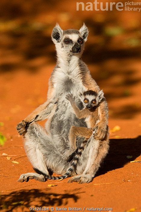 Ring-tailed Lemur (Lemur catta) mother and baby  Berenty, Madagascar. Photograph taken on location for BBC 'Wild Madagascar' Series, September 2009.  ,  AFRICA,BABIES,EAST AFRICA,FEMALE,LEMURIDAE,LEMURS,MADAGASCAR,MAMMALS,MOTHER,MOTHER BABY,PRIMATES,VERTEBRATES,VERTICAL,YOUNG  ,  Barrie Britton
