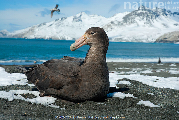 Southern Giant Petrel (Macronectes giganteus), St Andrew's Bay, South Georgia. Photograph taken on location for the BBC Frozen Planet series, October 2009.  ,  ANTARCTICA,BIRDS,COASTS,LANDSCAPES,MOUNTAINS,PETRELS,PORTRAITS,Procellariidae,SEABIRDS,SNOW,SUBANTARCTIC ISLANDS,VERTEBRATES,catalogue6,MACRONECTES GIGANTEUS,Animal,Vertebrate,Birds,Tubenose,Giant petrel,Animalia,Animal,Wildlife,Vertebrate,Chordate,Aves,Birds,Procellariiformes,Tubenose,Tubinare,Seabird,Procellariidae,Macronectes,Giant petrel,Macronectes giganteus,Southern giant petrel,Antarctic giant petrel,Giant fulmar,Ignoring,Ignore,Glance,Glances,Glancing,Look Away,Looks Away,Few,Three,Group,No One,Nobody,Temperature,Cold,Chill,Chilly,Beak,Beaks,Beach,Mountain,Snow,Outdoors,Open Air,Outside,Day,Coast,Marine,Coastal,Saltwater,Sea,Three Animals,St Andrew&#39,s Bay,Seabird,Seabirds,Marine bird,Marine birds,Pelagic bird,Pelagic birds  ,  Barrie Britton,Barrie Britton