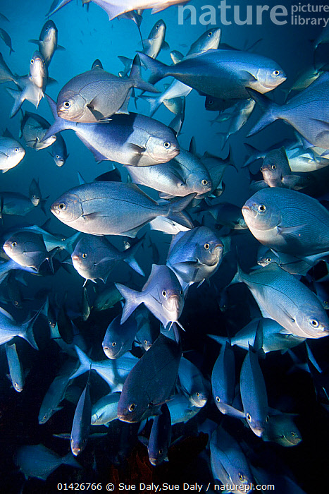 Blue Maomao (Scorpis violaceus) shoal, Poor Knights Islands, New Zealand, February  ,  actinoptergyii,AUSTRALASIA,FISH,GROUPS,MARINE,NEW ZEALAND,OSTEICHTHYES,PACIFIC OCEAN,SHOAL,TEMPERATE,UNDERWATER,VERTEBRATES,catalogue6,SCORPIS VIOLACEUS,Animal,Vertebrate,Ray finned fish,Percomorphi,Sea chub,Blue maomao,Animalia,Animal,Wildlife,Vertebrate,Chordate,Actinopterygii,Ray finned fish,Osteichthyes,Bony fish,Fish,Perciformes,Percomorphi,Acanthopteri,Kyphosidae,Sea chub,Confusion,Bewildered,Confused,Uncertain,Indecisive,Unsure,Colour,School,Many,Group,Large Group,No One,Nobody,Australasia,New Zealand,Close Up,Front View,View From Front,Underwater,Biodiversity hotspots,Biodiversity hotspot,Multitude,Mass,Scorpis,Scorpis violacea,Ditrema violacea,Blue maomao,Violet sweep,Blue sweep,Scorpis violaceus,Silver Colour,Poor Knights Island,Marine  ,  Sue Daly,Sue Daly