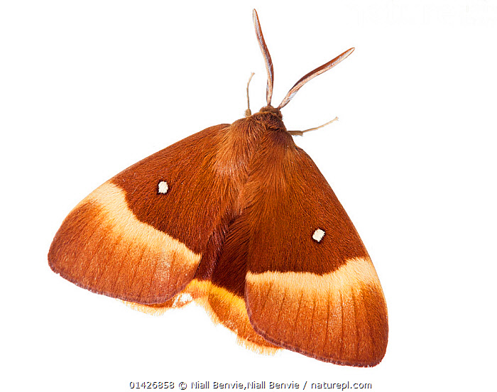 Oak Eggar Moth (Lasiocampa quercus) against white background. France, July., BROWN,CUTOUT,EUROPE,FRANCE,INSECTS,INVERTEBRATES,LEPIDOPTERA,MOTHS,white background,catalogue6,LASIOCAMPA QUERCUS,Animal,Arthropod,Insect,Eggar,Oak eggar,Animalia,Animal,Wildlife,Hexapoda,Arthropod,Invertebrate,Hexapod,Arthropoda,Insecta,Insect,Lepidoptera,Lepidopterans,Lasiocampidae,Eggar,Tent caterpillar,Snout mouth,Lappet moth,Moth,Lasiocampa,Lasiocampa quercus,Oak eggar,Phalaena quercus,Waiting,Colour,Brown,No One,Nobody,Pattern,Patterned,Patterns,Europe,Western Europe,France,Plain Background,White Background,Close Up,Wing,Wings,Indoors,Studio Shot,Studio Shots,Animal marking, Niall Benvie,Niall Benvie