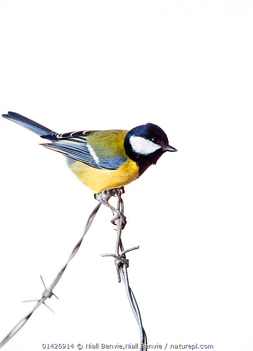 Great Tit (Parus major) on barbed wire (field studio). Scotland, December., BIRDS,CUTOUT,EUROPE,Paridae,SCOTLAND,songbirds,TITS,UK,VERTEBRATES,VERTICAL,white background,catalogue6,PARUS MAJOR,Animal,Vertebrate,Birds,Songbird,Tit,Great tit,Animalia,Animal,Wildlife,Vertebrate,Chordate,Aves,Birds,Passeriformes,Songbird,Passerine,Paridae,Tit,Parus,Parus major,Great tit,Curiosity,No One,Nobody,Pattern,Patterned,Patterns,Europe,Western Europe,UK,Great Britain,Scotland,Copy Space,Full Length,Full Lengths,Whole,Plain Background,White Background,Close Up,Side View,Wire,Barbed Wire,Indoors,Studio Shot,Studio Shots,Negative space,Animal marking,Field studio,United Kingdom, Niall Benvie,Niall Benvie