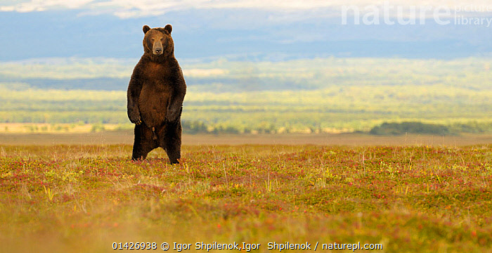 Kamchatka Brown Bear (Ursus arctos beringianus) stands on its back legs to more easily determine the source of an unfamiliar sound. Kronotsky Zapovednik Nature Reserve, Kamchatka Peninsula, Russian Far East, July., ASIA,BEARS,BIG,CARNIVORES,CIS,east asia,Kamchatka,LANDSCAPES,LARGE,looking at camera,MALES,MAMMALS,PANORAMIC,plains,PORTRAITS,RESERVE,RUSSIA,STANDING,Ursidae,VERTEBRATES,catalogue6,URSUS ARCTOS BERINGIANUS,Animal,Vertebrate,Mammal,Carnivore,Bear,Brown Bear,Kamchatka brown bear,Animalia,Animal,Wildlife,Vertebrate,Chordate,Mammalia,Mammal,Carnivora,Carnivore,Ursidae,Bear,Ursus,Ursus arctos,Brown Bear,Standing,Hear,Listen,Waiting,Alertness,Alert,Curiosity,Colour,Brown,No One,Nobody,Russia,Full Length,Full Lengths,Whole,Front View,View From Front,Animal Limbs,Limb,Limbs,Animal Legs,Legs,Leg,Hind Leg,Hind Legs,Outdoors,Open Air,Outside,Day,Kamchatka brown bear,Standing on hind legs,Aware,Kronotsky Zapovednik,Kamchatka Peninsula,Sensory,Unfamiliar, Igor Shpilenok,Igor  Shpilenok