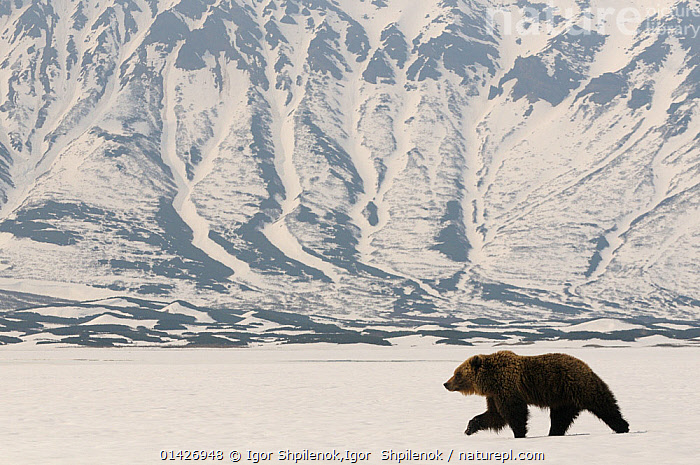 Kamchatka Brown Bear (Ursus arctos beringianus) recently risen from hibernation in the caldera of the Uzon Volcano. Kronotsky Zapovednik Nature Reserve, Kamchatka Peninsula, Russian Far East, April., ASIA,BEARS,CARNIVORES,CIS,east asia,Kamchatka,LANDSCAPES,MAMMALS,MOUNTAINS,one,PROFILE,RESERVE,RUSSIA,SNOW,Ursidae,VERTEBRATES,VOLCANOES,WALKING,catalogue6,URSUS ARCTOS BERINGIANUS,Animal,Vertebrate,Mammal,Carnivore,Bear,Brown Bear,Kamchatka brown bear,Animalia,Animal,Wildlife,Vertebrate,Chordate,Mammalia,Mammal,Carnivora,Carnivore,Ursidae,Bear,Ursus,Ursus arctos,Brown Bear,Walking,Adventure,Adventures,Adventurous,Determination,Direction,On The Move,Alone,Solitude,Solitary,Stealth,Colour,White,No One,Nobody,Russia,Full Length,Full Lengths,Whole,Profile,Side View,Mountain,Snow,Outdoors,Open Air,Outside,Winter,Day,Nature,Natural,Natural World,Nature Reserve,Kamchatka brown bear,Moving,White colour,Setting off,Kronotsky Zapovednik,Kamchatka Peninsula,Caldera,Uzon Volcano,Geology, Igor Shpilenok,Igor  Shpilenok