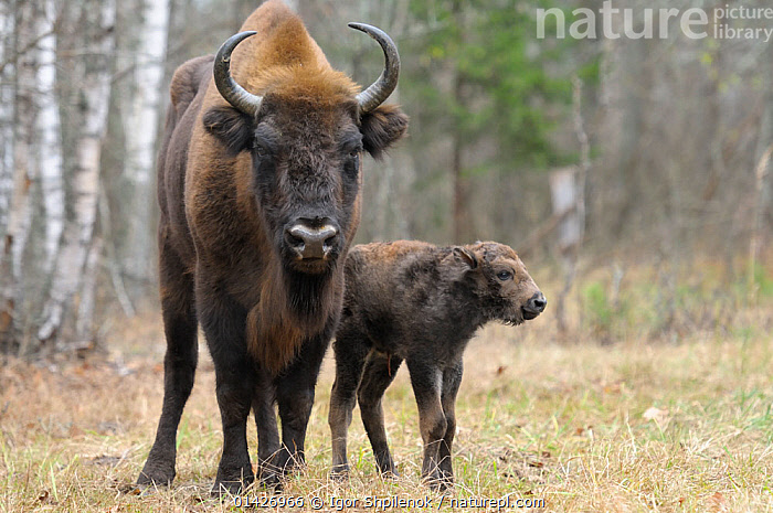 European Bison (Bison bonasus) calf and mother portrait. 'Mefody', first calf born to reintroduced herd in Bryansk Forest. Bryansk Forest Zapovednik, Kamchatka, Russian Far East, May., ARTIODACTYLA,ASIA,BABIES,Bovidae,BUFFALOS,CIS,east-asia,ENDANGERED,Kamchatka,MAMMALS,MOTHER-BABY,PORTRAITS,RESERVE,RUSSIA,two,VERTEBRATES,YOUNG high1314,BISON BONASUS,Animal,Vertebrate,Mammal,Bovid,Bison,European Bison,Animalia,Animal,Wildlife,Vertebrate,Mammalia,Mammal,Artiodactyla,Even-toed ungulates,Bovidae,Bovid,ruminantia,Ruminant,Bison,Bison bonasus,European Bison,Wisent,Standing,Protection,Colour,Brown,Side By Side,Two,Nobody,Horned,Hair,Fur,Outdoors,Open Air,Outside,Day,Nature,Natural,Natural World,Wild,Reserve,Forest,Conservation,Family,Mother baby,Mother-baby,mother,Wildlife conservation,Protected area,Horn,Reintroduction,Reintroduced,Two animals,Direct Gaze,Parent baby,Zapovednik,Protector,Brown Colour,Animal Hair,Endangeerd species,Vulnerable, Igor  Shpilenok