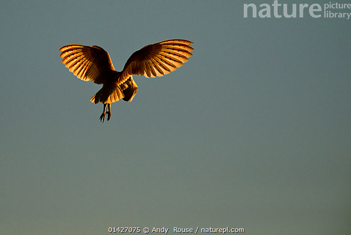 Barn Owl (Tyto alba) in hovering flight, with sunlight highlighting primary feathers. UK, May., catalogue6,TYTO ALBA,Animal,Vertebrate,Birds,Owl,Barn owl,Animalia,Animal,Wildlife,Vertebrate,Chordate,Aves,Birds,Strigiformes,Owl,Bird of prey,Tytonidae,Tyto,Tyto alba,Barn owl,Western barn owl,Common barn owl,Flying,Hovering,Hover,Hovers,Anticipation,Preparation,Mid Air,No One,Nobody,Europe,Western Europe,UK,Coloured Background,Grey Background,Gray Background,Copy Space,Back Lit,Backlit,Feather,Feathers,Wing,Wings,Light,Lights,Sunlight,Outdoors,Open Air,Outside,Day,Flight,Wings spread,Wingspan,Negative space,United Kingdom, Andy  Rouse