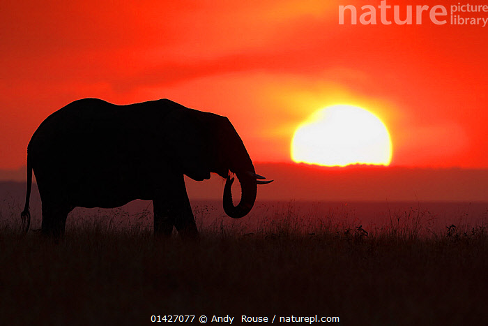 African Elephant (Loxodonta africana) silhoutted against setting sun. Maasai Mara, Kenya, Africa, August., AFRICA,ARTY-SHOTS,ATMOSPHERIC,CALM,DUSK,EAST-AFRICA,ELEPHANTS,ENDANGERED,Kenya,Maasai-Mara,MAMMALS,NP,ORANGE,PROBOSCIDS,PROFILE,RED,RESERVE,serengeti,SILHOUETTES,SUN,sunsets,VERTEBRATES,Vulnerable high1314,LOXODONTA AFRICANA,Animal,Vertebrate,Mammal,Elephant,African elephants,African elephant,Animalia,Animal,Wildlife,Vertebrate,Mammalia,Mammal,Proboscidea,Elephantidae,Elephant,Loxodonta,African elephants,Loxodonta africana,African elephant,Standing,Thinking,Thoughtful,Waiting,Alone,Solitude,Solitary,Nobody,Luminosity,Glow,Glows,Temperature,Hot,Warm,Warming,Warmth,Africa,East Africa,Kenya,Profile,Side View,Back Lit,Backlit,Plain,Plains,Sky,Moody Sky,Dramatic Sky,Weather,Meteorology,Sunset,Setting Sun,Sunsets,Outdoors,Open Air,Outside,Night,Silhouette,The Sun,Maasai Mara,Dusk,Contemplation,Endangered species,threatened,Endangered, Andy  Rouse