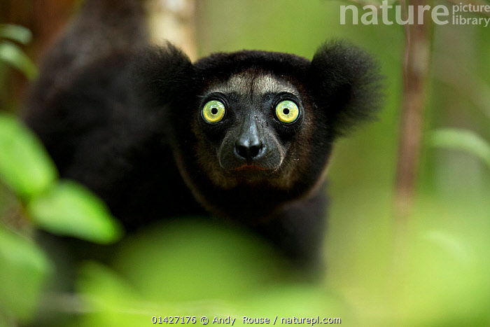 Indri (Indri indri) portrait. Madagascar., ENDANGERED,INDRI,INDRIIDAE,LEMURS,looking at camera,MADAGASCAR,MAMMALS,PORTRAITS,PRIMATES,VERTEBRATES high1314,INDRI INDRI,Animal,Vertebrate,Mammal,Indri,Animalia,Animal,Wildlife,Vertebrate,Mammalia,Mammal,Primate,Primates,Indriidae,Prosimians,Indri,Indris,Indri indri,Babakoto,Lemur indri,Indri brevicaudatus,Indri niger,Indris ater,Lichanotus mitratus,Indris variegatus,Surprise,Anxiety,Shock,Shocked,Shocks,Black,Nobody,Africa,Madagascar,Malagasy Republic,Republic of Madagascar,Close Up,Front View,View From Front,Portrait,Hair,Fur,Outdoors,Open Air,Outside,Day,Nature,Natural,Natural World,Wild,Biodiversity hotspots,Biodiversity hotspot,Yellow Eyes,Animal portrait,Eye colour,Animal Hair,Endangered species,threatened,Endangered, Andy  Rouse