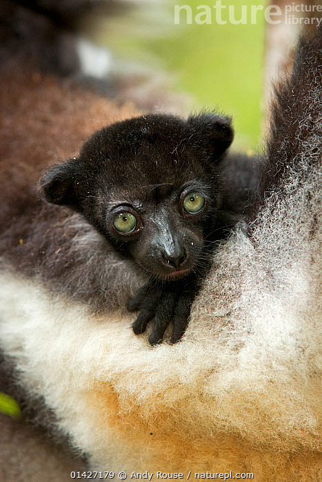 Indri (Indri indri) two-month baby on mother's arm. Madagascar., BABIES,CUTE,ENDANGERED,INDRI,INDRIIDAE,LEMURS,MADAGASCAR,MAMMALS,PORTRAITS,PRIMATES,SMALL,VERTEBRATES high1314,INDRI INDRI,Animal,Vertebrate,Mammal,Indri,Animalia,Animal,Wildlife,Vertebrate,Mammalia,Mammal,Primate,Primates,Indriidae,Prosimians,Indri,Indris,Indri indri,Babakoto,Lemur indri,Indri brevicaudatus,Indri niger,Indris ater,Lichanotus mitratus,Indris variegatus,Resting,Rest,Trust,Trustful,Trusting,Black,Nobody,Africa,Madagascar,Malagasy Republic,Republic of Madagascar,Close Up,Front View,View From Front,Young Animal,Juvenile,Babies,Animal Limbs,Limb,Limbs,Animal Arms,Arm,Arms,Animal Feet,Feet,Foot,Paw,Paws,Green Eyes,Green Eye,Outdoors,Open Air,Outside,Day,Family,Mother baby,Mother-baby,mother,Biodiversity hotspots,Biodiversity hotspot,Direct Gaze,Parent baby,Eye colour,Endangered species,threatened,Endangered, Andy  Rouse