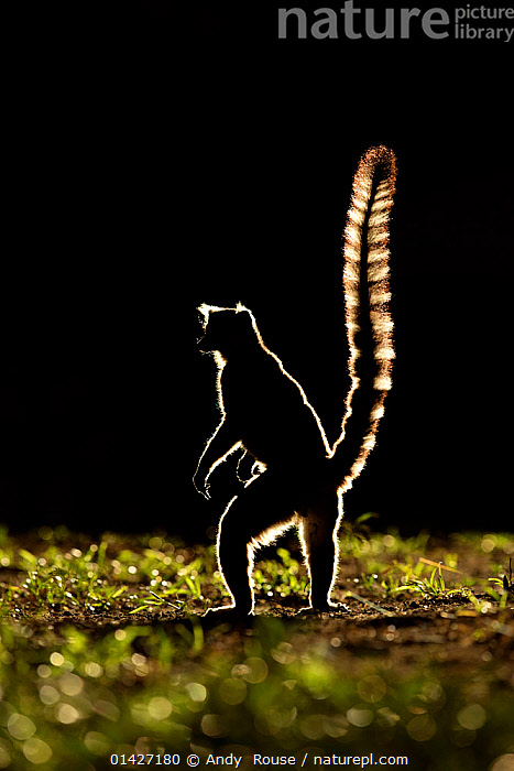 Ringtail Lemur (Lemur catta) silhouetted, Madagascar., ATMOSPHERIC,backlit,ENDANGERED,LEMURIDAE,LEMURS,MADAGASCAR,MAMMALS,PRIMATES,SILHOUETTES,STANDING,VERTEBRATES high1314,LEMUR CATTA,Animal,Vertebrate,Mammal,Lemur,Ring-tailed lemur,Animalia,Animal,Wildlife,Vertebrate,Mammalia,Mammal,Primate,Primates,Lemuridae,Lemur,Prosimians,Lemur catta,Ring-tailed lemur,Maki mococo,Standing,Glance,Glances,Glancing,Look Away,Looks Away,Alertness,Alert,Nobody,Length,Long,Lengthy,Africa,Madagascar,Malagasy Republic,Republic of Madagascar,Copy Space,Full Length,Full Lengths,Whole,Plain Background,Black Background,Profile,Close Up,Side View,Back Lit,Backlit,Tail,Outdoors,Open Air,Outside,Night,Silhouette,Biodiversity hotspots,Biodiversity hotspot,Negative space,Bandit, Andy  Rouse