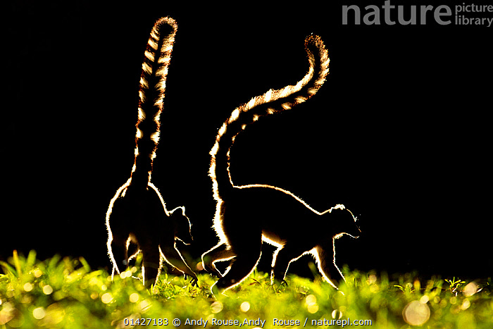 Ring tailed Lemurs (Lemur catta) silhouetted, Madagascar., ATMOSPHERIC,ENDANGERED,LEMURIDAE,LEMURS,MADAGASCAR,MAMMALS,PRIMATES,SILHOUETTES,two,VERTEBRATES,catalogue6,LEMUR CATTA,Animal,Vertebrate,Mammal,Lemur,Ring tailed lemur,Animalia,Animal,Wildlife,Vertebrate,Chordate,Mammalia,Mammal,Primate,Primates,Lemuridae,Lemur,Prosimians,Lemur catta,Ring tailed lemur,Maki mococo,Adventure,Adventures,Adventurous,Alertness,Alert,Curiosity,Partnership,Two,No One,Nobody,Madagascar,Malagasy Republic,Republic of Madagascar,Plain Background,Black Background,Profile,Side View,Back Lit,Backlit,Plant,Grass Family,Grass,Grasses,Tail,Outdoors,Open Air,Outside,Day,Silhouette,Biodiversity hotspots,Biodiversity hotspot,Two animals,Setting off,Plants, Andy Rouse,Andy  Rouse