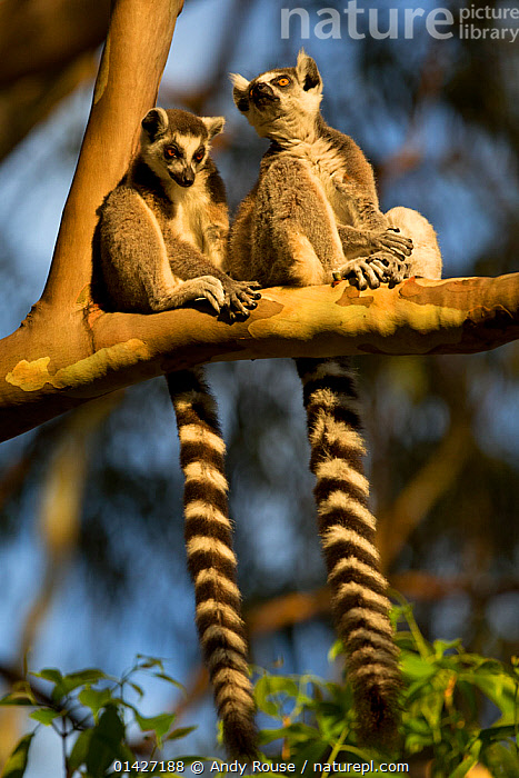 RF- Ringtail Lemurs (Lemur catta) sitting on branch. Madagascar.  Endangered species. (This image may be licensed either as rights managed or royalty free.), ENDANGERED,LEMURIDAE,LEMURS,MADAGASCAR,MAMMALS,PRIMATES,SITTING,TAILS,two,VERTEBRATES,LEMUR CATTA,Animal,Vertebrate,Mammal,Lemur,Ring-tailed lemur,Animalia,Animal,Wildlife,Vertebrate,Mammalia,Mammal,Primate,Primates,Lemuridae,Lemur,Prosimians,Lemur catta,Ring-tailed lemur,Maki mococo,Sitting,Resting,Rest,Gossip,Gossiping,Gossips,Small Talk,Mischief,Friendship,Side By Side,Two,Nobody,Pattern,Stripes,Africa,Madagascar,Malagasy Republic,Republic of Madagascar,Plant,Branch,Branches,Sunlight,Outdoors,Nature,Endangered Species,Threatened,Wild,Biodiversity hotspots,Biodiversity hotspot,Two animals,Natural Light,RF,Royalty free,RFCAT1,RF17Q1,, Andy  Rouse