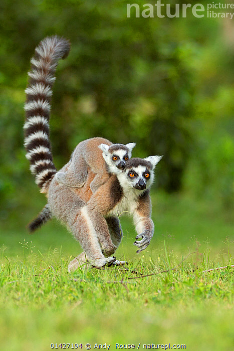 Ringtail Lemur (Lemur catta) mother with baby on back. Madagascar., BABIES,CARRYING,CUTE,ENDANGERED,LEMURIDAE,LEMURS,MADAGASCAR,MAMMALS,MOTHER-BABY,PARENTAL,PRIMATES,VERTEBRATES,WALKING high1314,LEMUR CATTA,Animal,Vertebrate,Mammal,Lemur,Ring-tailed lemur,Animalia,Animal,Wildlife,Vertebrate,Mammalia,Mammal,Primate,Primates,Lemuridae,Lemur,Prosimians,Lemur catta,Ring-tailed lemur,Maki mococo,Walking,Carries,Carry,Passenger,Passengers,Alertness,Alert,Mischief,On The Move,Two,Nobody,Pattern,Patterned,Patterns,Stripes,Africa,Madagascar,Malagasy Republic,Republic of Madagascar,Close Up,Front View,View From Front,Plant,Grass Family,Grass,Grasses,Tail,Outdoors,Open Air,Outside,Day,Family,Mother baby,Mother-baby,mother,Biodiversity hotspots,Biodiversity hotspot,Yellow Eyes,Two animals,Parent baby,Moving,Carrying on back,Eye colour,Bandit, Andy  Rouse