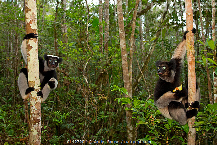 Indri (Indri indri) on trees in tropical rainforest habitat. Madagascar., ENDANGERED,EXPRESSIONS,FRIENDS,HABITAT,HUMOROUS,INDRI,INDRIIDAE,LEMURS,MADAGASCAR,MAMMALS,PRIMATES,TROPICAL-RAINFOREST,two,VERTEBRATES high1314,INDRI INDRI,Animal,Vertebrate,Mammal,Indri,Animalia,Animal,Wildlife,Vertebrate,Mammalia,Mammal,Primate,Primates,Indriidae,Prosimians,Indri,Indris,Indri indri,Babakoto,Lemur indri,Indri brevicaudatus,Indri niger,Indris ater,Lichanotus mitratus,Indris variegatus,Agility,Agile,Alertness,Alert,Mischief,Two,Nobody,Africa,Madagascar,Malagasy Republic,Republic of Madagascar,Plant,Tree Trunk,Outdoors,Open Air,Outside,Day,Nature,Natural,Natural World,Wild,Rainforest,Tropical rainforest,Habitat,Forest,Biodiversity hotspots,Biodiversity hotspot,Two animals,Bandit,Endangered species,threatened,Endangered, Andy  Rouse