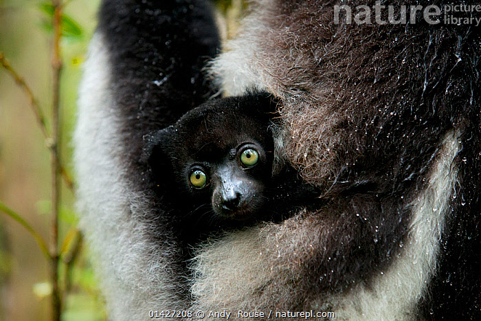 Indri (Indri indri) two month baby in mother's arm. Madagascar., BABIES,CUTE,ENDANGERED,INDRI,INDRIIDAE,LEMURS,MADAGASCAR,MAMMALS,PRIMATES,SMALL,VERTEBRATES high1314,INDRI INDRI,Animal,Vertebrate,Mammal,Indri,Animalia,Animal,Wildlife,Vertebrate,Mammalia,Mammal,Primate,Primates,Indriidae,Prosimians,Indri,Indris,Indri indri,Babakoto,Lemur indri,Indri brevicaudatus,Indri niger,Indris ater,Lichanotus mitratus,Indris variegatus,Hiding,Glance,Glances,Glancing,Look Away,Looks Away,Protection,Black,Two,Nobody,Size,Small,Little,Tiny,Africa,Madagascar,Malagasy Republic,Republic of Madagascar,Close Up,Young Animal,Juvenile,Babies,Animal Limbs,Limb,Limbs,Animal Arms,Arm,Arms,Hair,Fur,Outdoors,Open Air,Outside,Day,Biodiversity hotspots,Biodiversity hotspot,Yellow Eyes,Two animals,Eye colour,Protector,Animal Hair,Endangered species,threatened,Endangered, Andy  Rouse