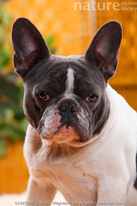 French Bulldog bitch with blue-white, aged one year, Canidae,DOGS,EARS,FACES,FEMALES,PETS,PORTRAITS,VERTEBRATES,VERTICAL,catalogue6,CANIS FAMILIARIS,Canis familiaris,Humorous,No One,Nobody,Portrait,Animal,Ear,Animal Ears,Ears,Indoors,Day,Domestic animal,Pet,Domestic Dog,Domestic animals,Domesticated,Canis familiaris,Dog,Fed up,Questioning,Ears Pricked,Concepts, Petra Wegner,Petra Wegner