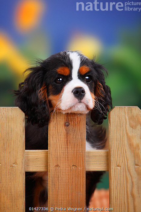Cavalier King Charles Spaniel, male puppy with tricolor coat  , aged 3 months, at garden fence, catalogue6,CANIS FAMILIARIS,Canis familiaris,Leaning,Lean,No One,Nobody,Pattern,Patterned,Patterns,Frown,Frowns,Scowl,Scowling,Scowls,Close Up,Animal,Male Animal,Boundary,Fence,Wood,Wooden,Domestic animal,Pet,Domestic Dog,Domestic animals,Domesticated,Canis familiaris,Dog,Direct Gaze,Fed up,Animal marking,Bad mood,Tricolour, Petra Wegner